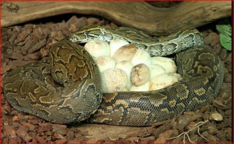 serpent prend soin de ses petits