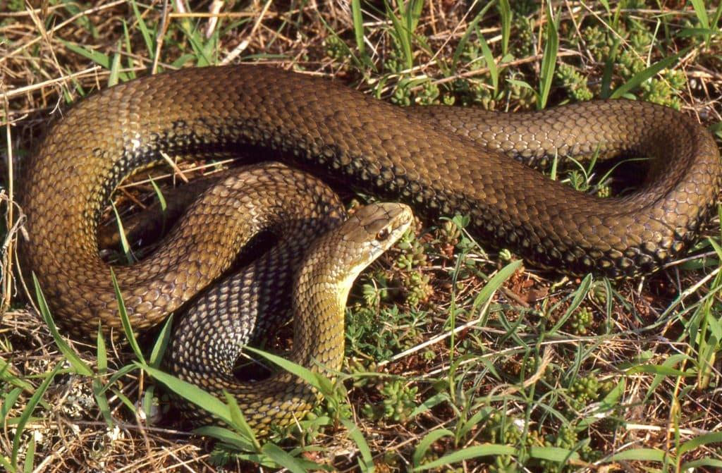 Pourquoi nourrir les serpents de compagnie avec des souris mortes ?