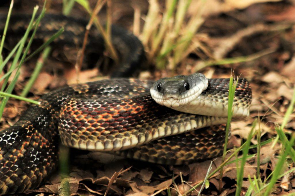Serpents débutants qui ne mangent pas seulement des rongeurs