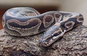 Existe t il un serpent végétarien ?