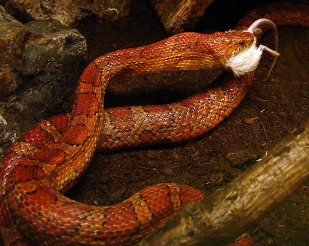 nourrir les serpents de compagnie avec des souris mortes