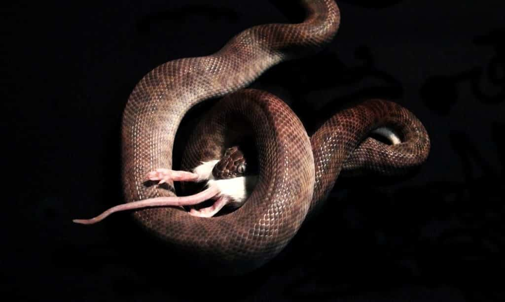 Puis-je nourrir mon serpent de rongeurs à sang chaud ?
