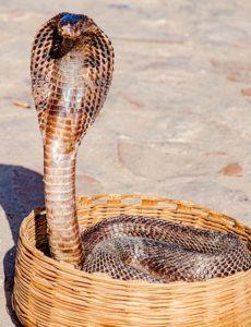 Cléopâtre tuée par un serpent