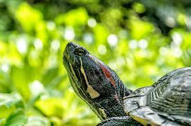 Tortues et serpents peuvent ils vivre ensemble ?