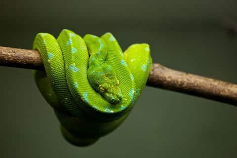 Les serpents de compagnie verts