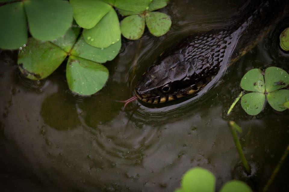 Pouvez Vous Choisir un Serpent d'Eau comme Animal de Compagnie ?