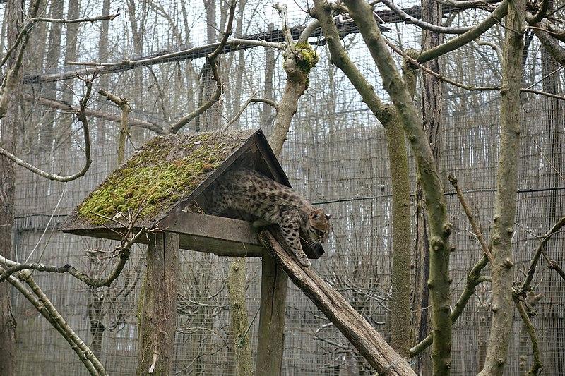 Félins de la Forêt Amazonienne