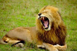 Lion de L'Afrique