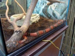 Quelle est la taille d'un serpent laitier ? Et combien de temps faut-il pour grandir ?