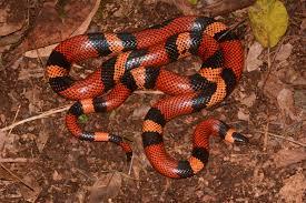 Quelle est la taille d'un serpent laitier ? Et combien de temps faut-il pour grandir?