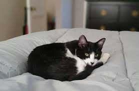 santé urinaire chat