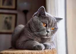 sante chat de race