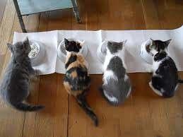 alimentation équilibrée chat