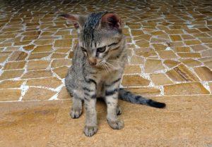 problème santé chat bengal