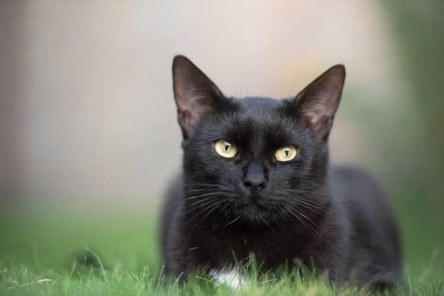 santé chat noir (chat noir santé)