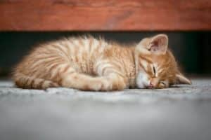 nutrition parentérale chat