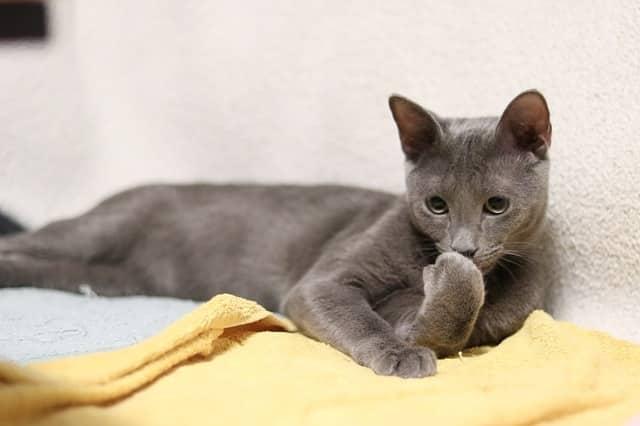 chat bleu russe santé