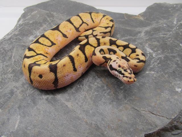 serpents de compagnies