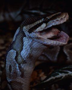 serpent repas