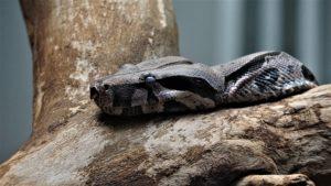 serpent de compagnie