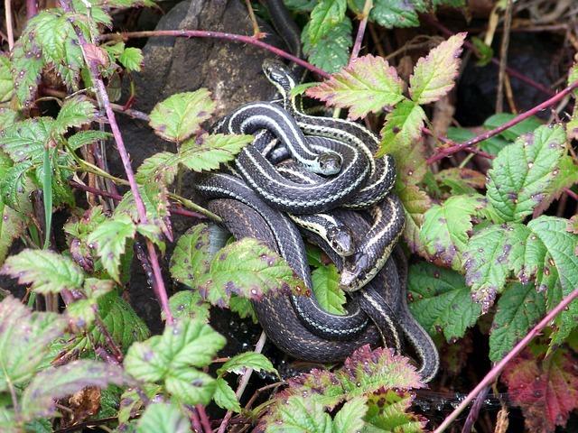 serpent de jardin