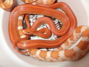 Les Meilleurs Serpents à Avoir Chez Soi