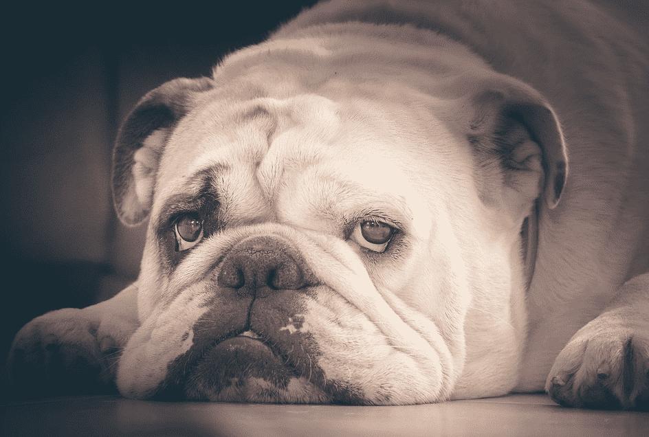 bulldog agé