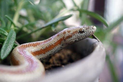 meilleur serpent compagnie