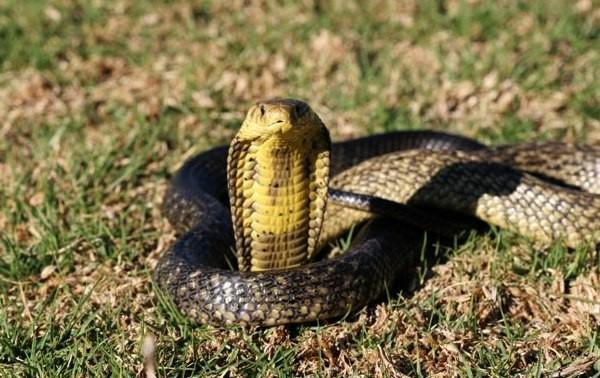 serpents les plus dangereux