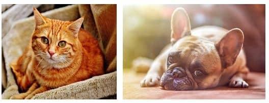bulldog anglais et chat