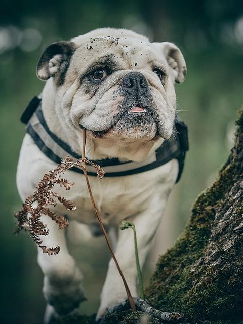 fecondation bulldog