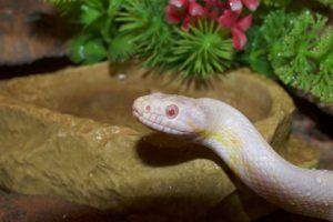 serpent de compagnie nourriture