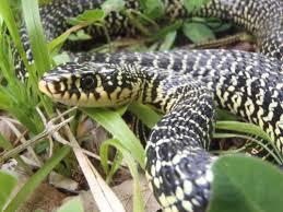 Liste des Serpents en France