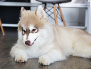 caractéristique de husky