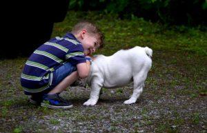 bulldog anglais mâle ou femelle