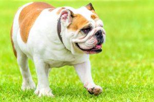 avantage d'avoir un bulldog anglais