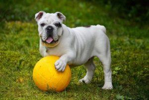 soin bulldog