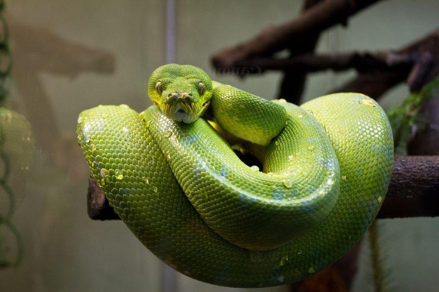 serpent python vert