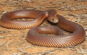Serpent de la Mulga