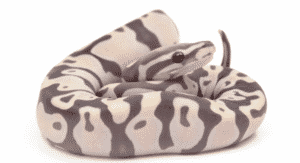 serpent sans écaille