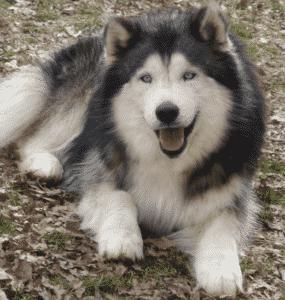 croisement des chiens