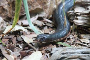 les Serpents les PLus Dangereux (top 20)