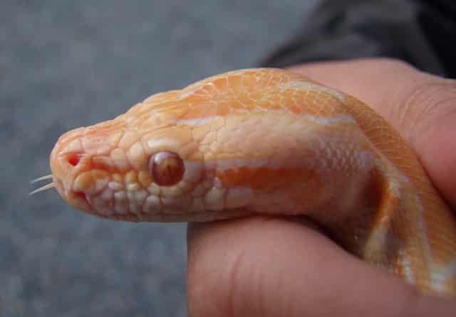 serpent de blé