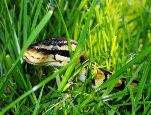 python sexe (serpent python male ou femelle)