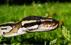 Morsure par un Serpent Python