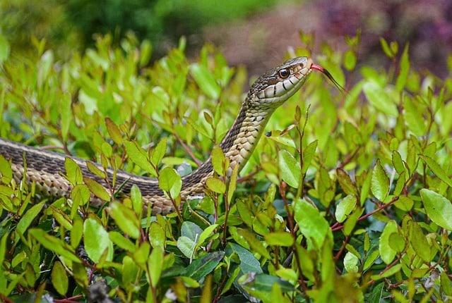 serpent jarretière morsure
