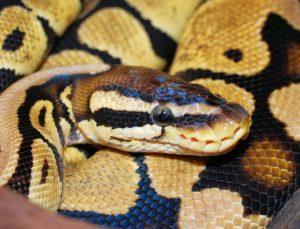Comment Nourrir un Python