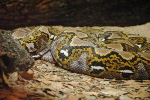 serpent le plus grand
