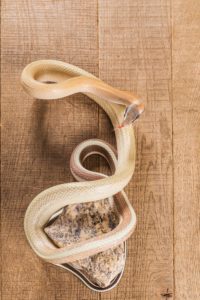 que mange le serpent
