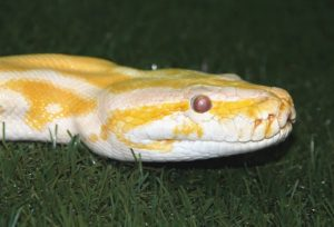 serpent python albinos